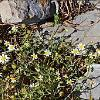 Anthemis werneri subsp. insularum